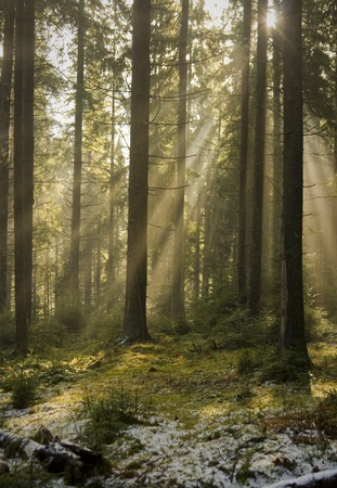 Sun light shining through the trees. Carpathians wood, Ukraine.