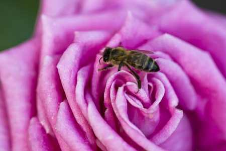 Purple rose and bee at the spring photo