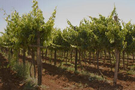 Grapes growing in a Croatian vineyard on Lanterna peninsula photo