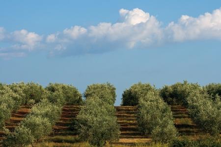 Olive tree field in Croatia