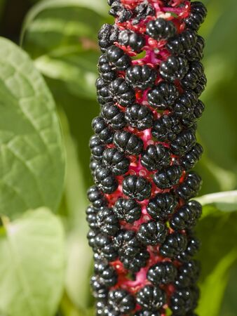 Pokeweed. Tall North American plant, Phytolacca americana, that has juicy purple berries, and a poisonous purple root used medicinally photo