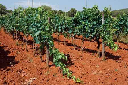 Grapes growing in a Croatian vineyard in Istria Stock Photo - 10816470