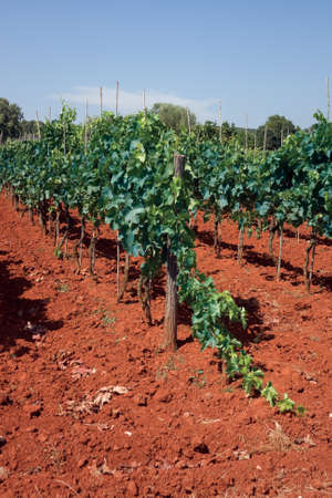 Grapes growing in a Croatian vineyard in Istria photo