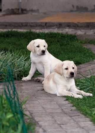 Two Labrador (retriever) puppies sitting on the stone path