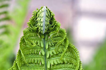 fern  large fern: Leaf of  blossoming young fern macro.