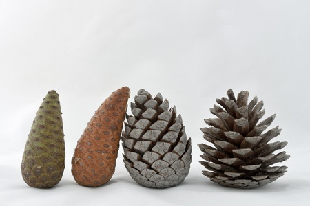 Set of four pine cones in different stages of growth photo