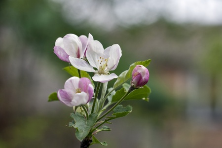Closeup of apple blossoms branch photo