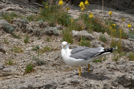 Sea gull looking straight to the camera against nature background photo