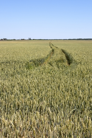 Forward tractor trace in unreap wheat field photo