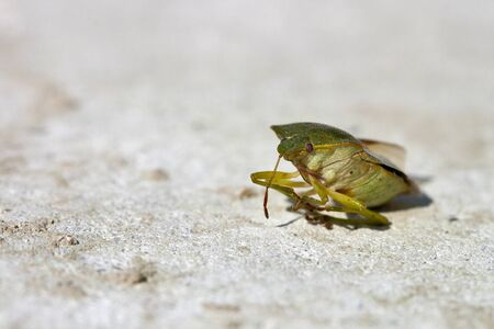 Green shield bug Palomena prasina, in front of stone background photo