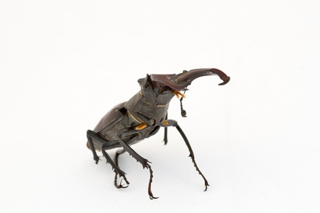 Close-up of big stag beetle (Lucanus cervus) - the largest beetle of Europa photo
