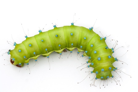 Caterpillar of a giant silk moth on white background