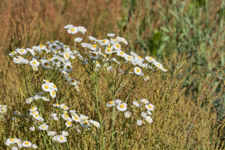 chamomilla: Field with flowers of wild camomile ( Matricaria chamomilla)  Stock Photo
