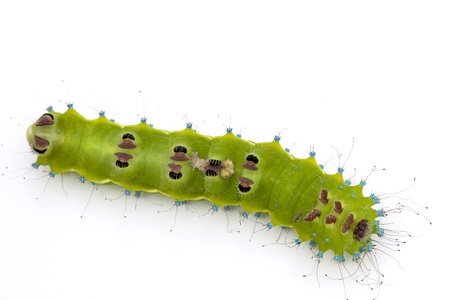 Caterpillar of a giant silk moth upside down on white background photo