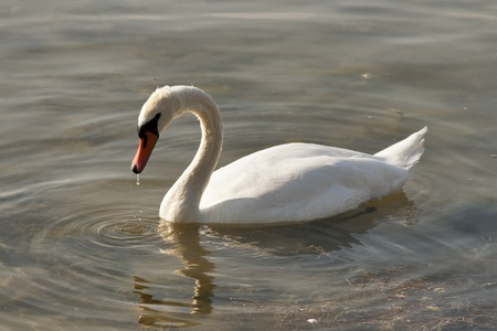 Swimming swan causing ripples in a water  Stock Photo