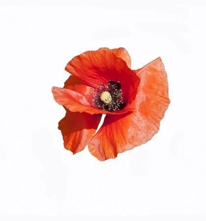 oriental poppy: red oriental poppy flower isolated on white background