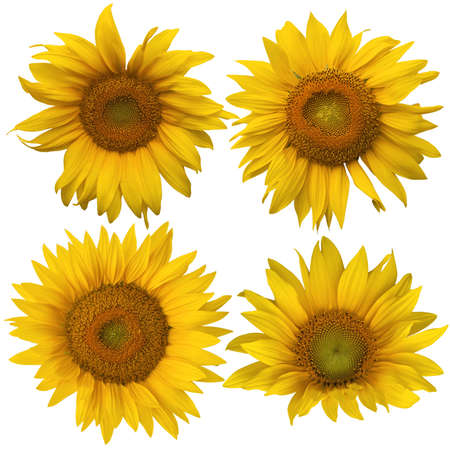 Four summer yellow different sunflowers isolated against white photo