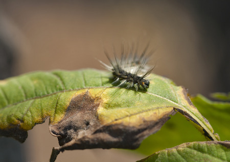 hairy caterpillar on a half eaten green leaf photo