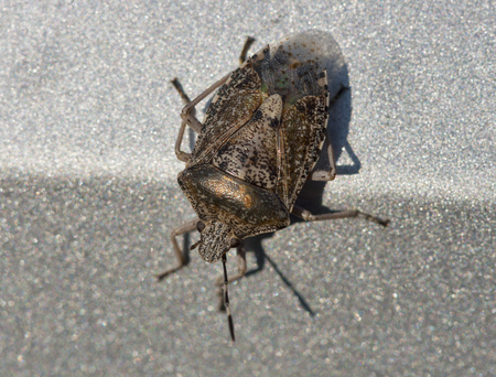invasive species: Brown Marmorated Stink Bug macro Stock Photo