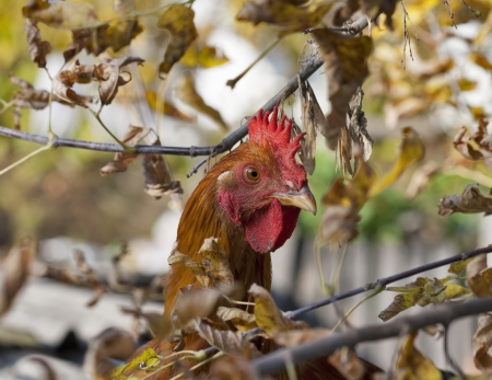red hen: red hen peeking out from behind the tree branches Stock Photo
