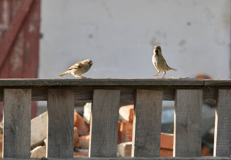 bold sparrows dancing on a wooden fence photo