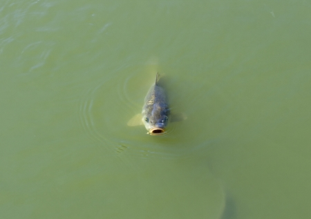 murky: fat carp with open mouth floating on the surface of the murky pond