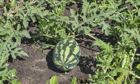 field stripped: small stripped watermelon in the field closeup Stock Photo