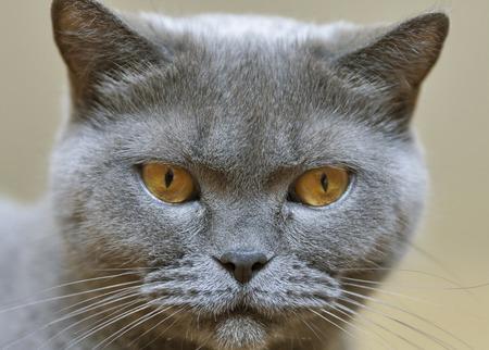 purebred: Scottish purebred gray cat portrait closeup