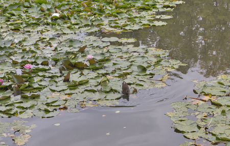 moorhen: wild moorhen floating in the pond with water lily closeup