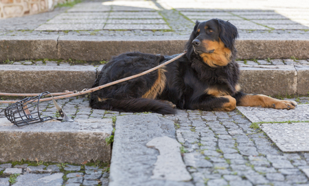 setter: Cute Gordon Setter on a leash lying on the steps outdoor near the muzzle