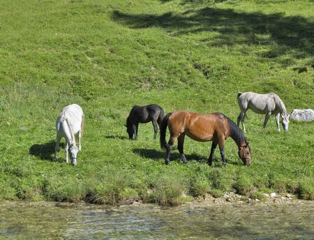 grey horses: White, brown, black and grey horses grazing in a meadow near the mountain river