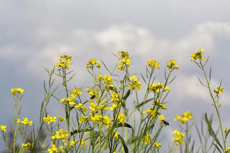 oilseed: Flowering oilseed rape flower field against blue sky closeup Stock Photo
