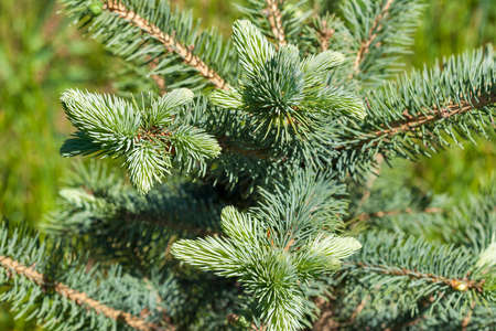 Young branch of the small blue spruce closeup