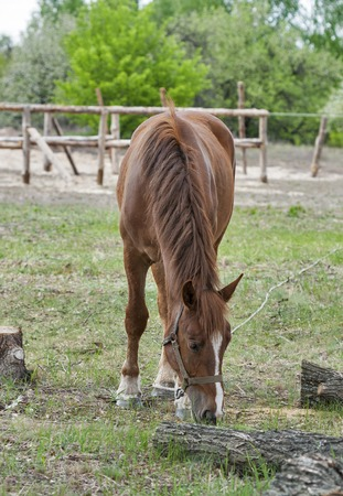 nibbling: Horse nibbling on short grass in summer pasture Stock Photo