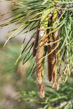 pinus sylvestris: young pine ( Pinus sylvestris ) closeup Stock Photo