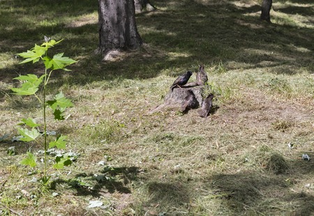 corax: blackbirds group on a stump in the park