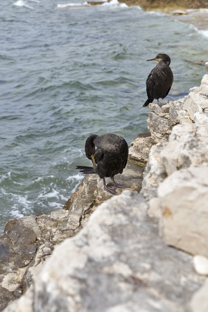 Great Cormorant Birds closeup in Istria, Croatia