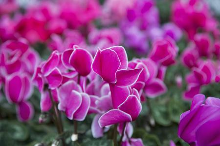 sowbread: Winter flowers cyclamen in greenhouse closeup, Cyclamen is a genus of 23 species of perennial flowering plants. Stock Photo