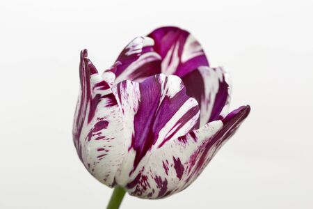Beautiful stripped violet white tulip closeup against white background