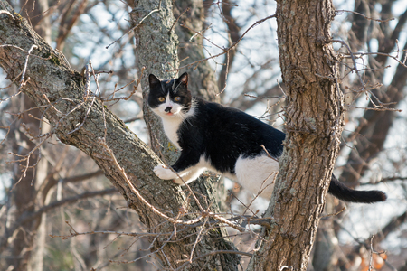 plating: frightened black and white street cat sits on a high dry tree in spring