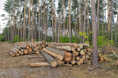 neatly stacked: Logs neatly stacked in the pine forest