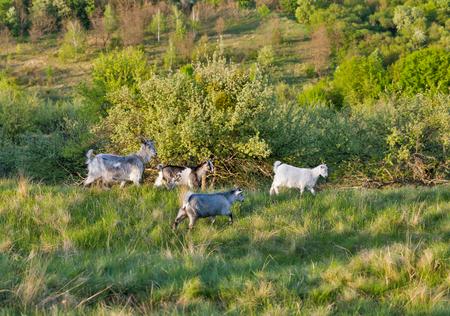 Binnenlandse geiten in een weide boomgaard, Centraal-Oekraïne.