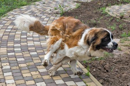 Young saint bernard dog running closeup