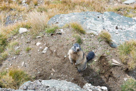 Alpine marmot on autumn mountain slope. Kaiser Franz Joseph glacier, Grossglockner High Alpine Road in Austrian Alps.