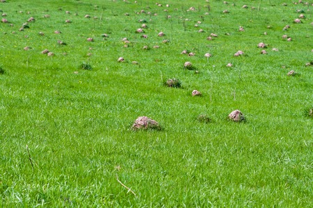 Closeup of a green meadow destroyed by many molehills. Its a sunny day in spring. Stock Photo