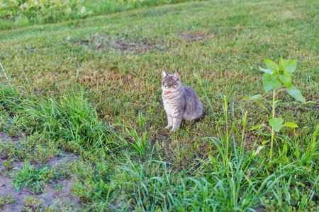 Gray street cat in red collar sitting outdoor in green grass
