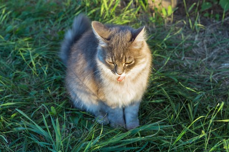 Gray street cat with red collar sitting outdoor closeup at spring garden in the grass