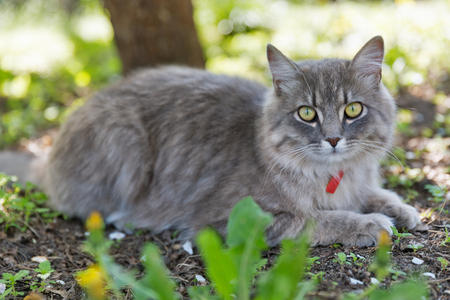 Gray street cat with red collar sitting outdoor closeup at spring garden, looking at the camera