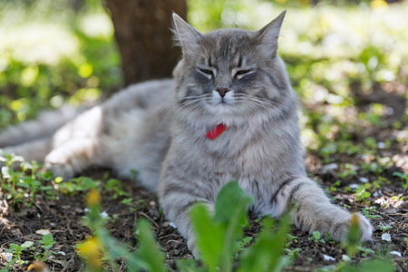 Gray street cat with red collar sitting outdoor closeup at spring garden, looking at the camera 스톡 콘텐츠 - 118169041