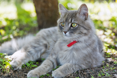 Gray street cat with red collar sitting outdoor closeup at spring garden, looking at the camera 스톡 콘텐츠 - 118169050